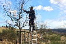 Palmer, Öeschbergschnitt, Obstbaumschnitt